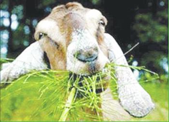 web1_Goat.jpg
