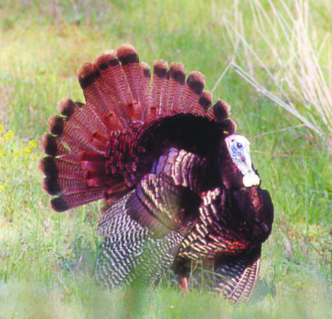 A jake gobbler in full strut in Adams County.  Photo by Tom Cross.