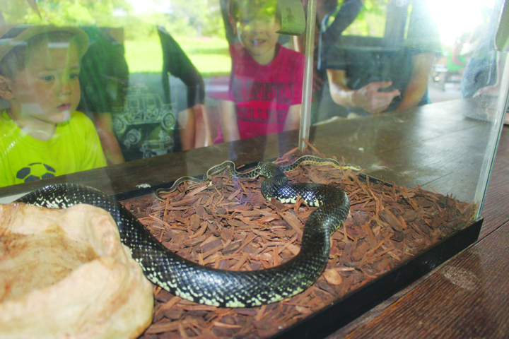 Curious faces press to the glass to watch this Eastern King snake make a meal out of a smaller garter snake at the June 25 Return of the Snake program at Serpent Mound.